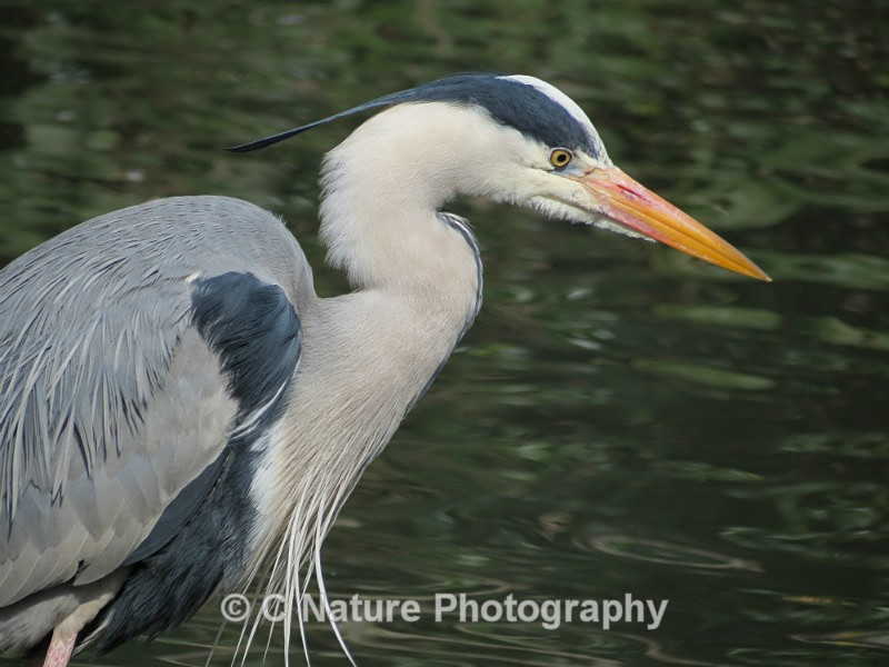 Grey Heron - Birds