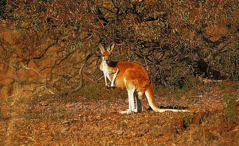 Red Kangaroo 2 - ANIMAL AND BIRD PHOTOS