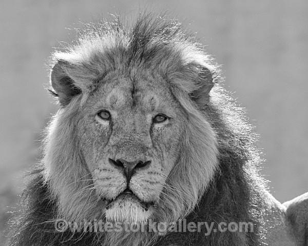 NEW - Angolian Lion - Wildlife and Animals