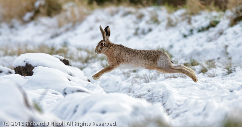 Brown Hare (Lepus europaeus) jumping Ditch - Brown Hare (Lepus europaeus)