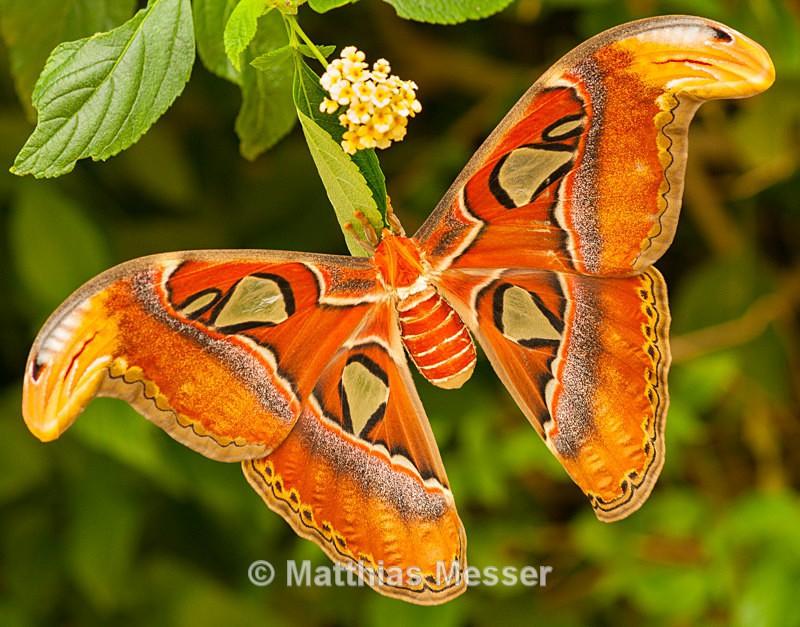 Atlas Moth - Nature