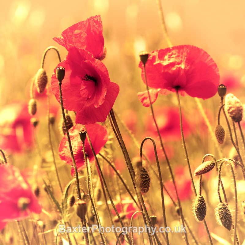 Poppy Haze - Miscellaneous