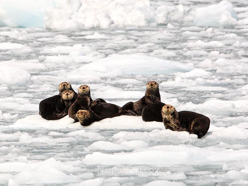 Sea Otters resting on an ice floe, Prince William Sound, Alaska - Otter