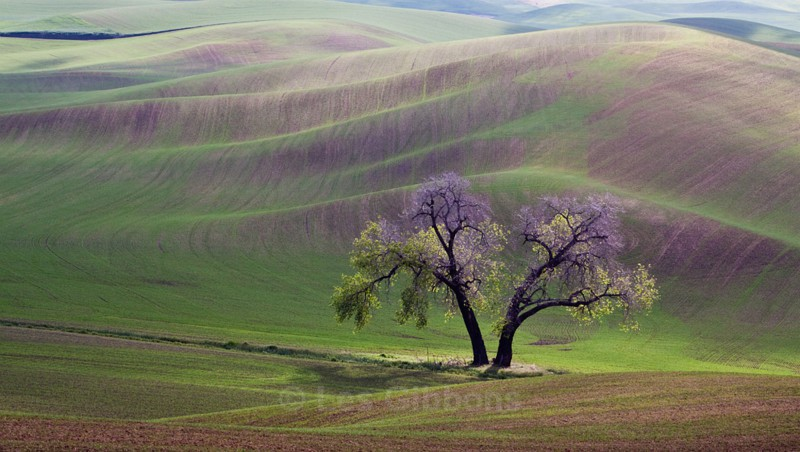 two trees3 - Palouse