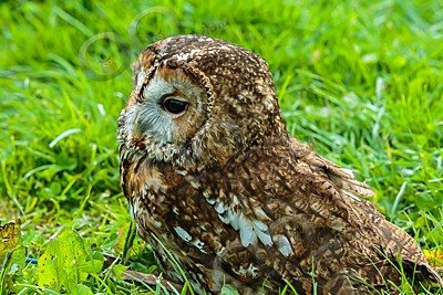 tawny owl Strix aluco-7315 - Our Birds