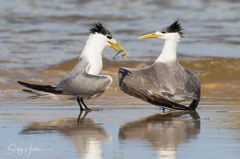 Love Dance 19 - Crested Terns 2018 (For Sale)
