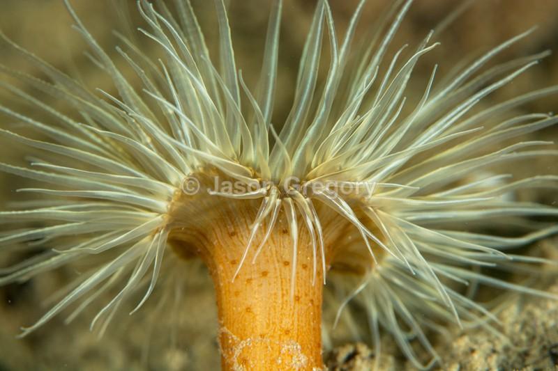 Sagartiogeton undatus - Anemones (Anthozoa)