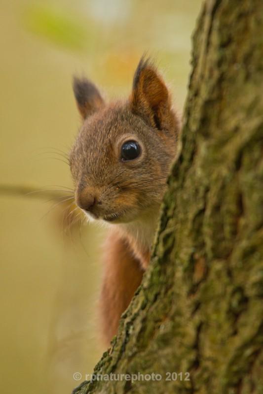 Red Squirrel - Sciurus vulgaris RPNP0678 - Mammals