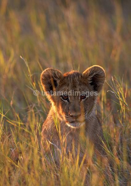 Lion cub - Botswana