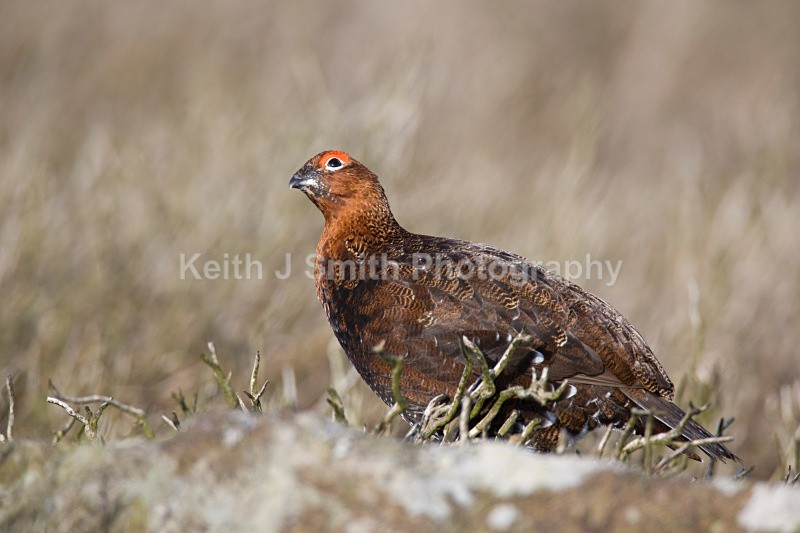 Red Grouse.YR6M4779 - Red Grouse.