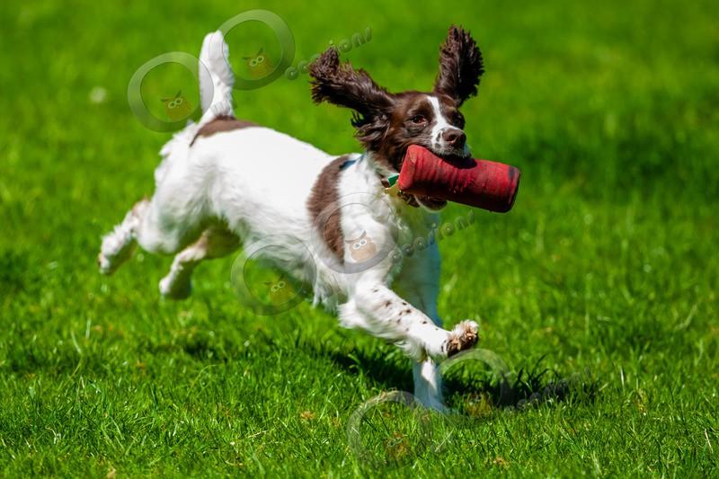 Springer Spaniel_6126 - Pet Photography