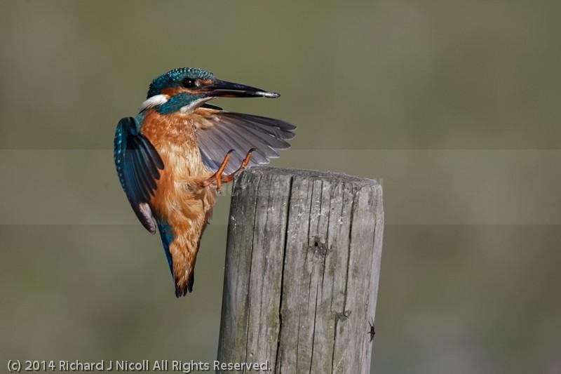 Kingfisher (Alcedo atthis) landing - Kingfisher