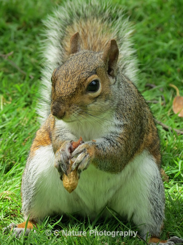 Grey Squirrel - Animals