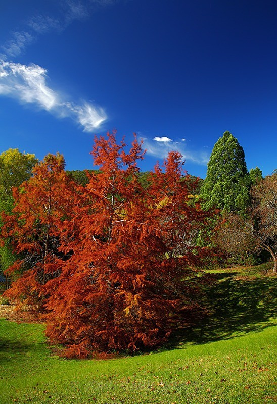 AutumnTreesV-3921 - TREES, FLOWERS AND PLANT PHOTOS