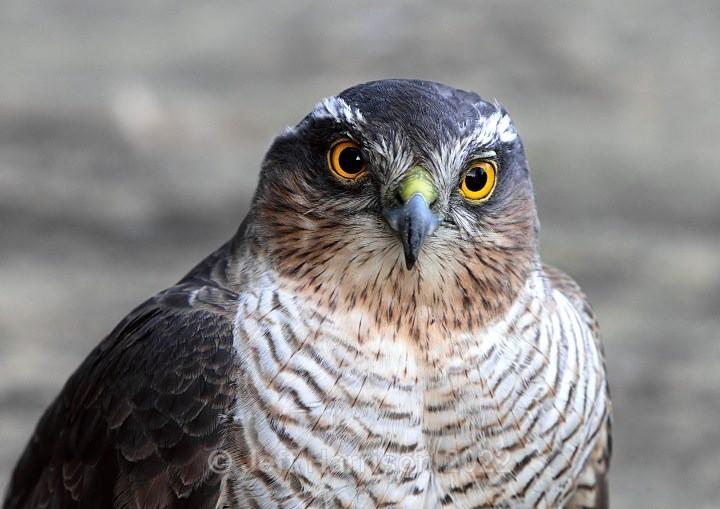 Sparrowhawk (image Sparh 03) - Sparrowhawks