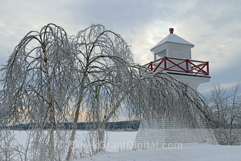 Weeping Birches - The Great Ice Storm of 2013