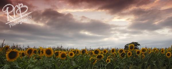Sunflowers Panorama - Panoramic Images