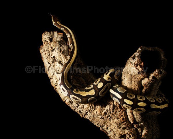 snakes-219 - Reptile Photography