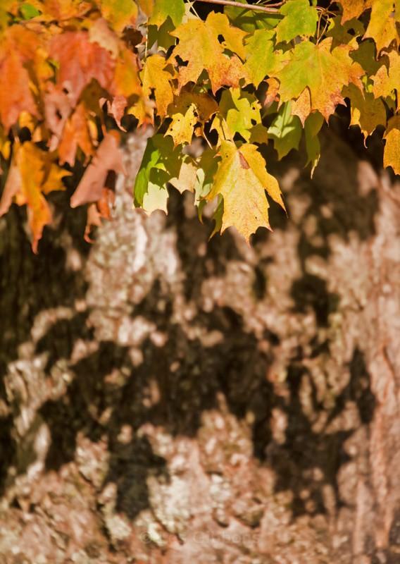 leaf shadow - New Brunswick