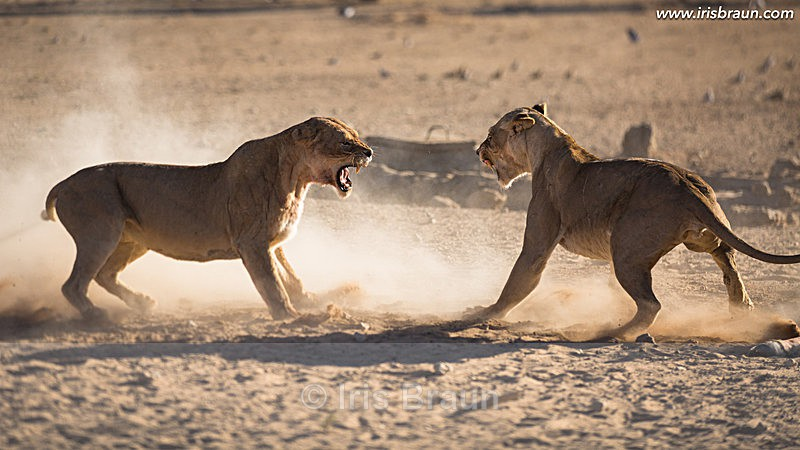 Female Fight - Lion