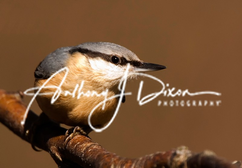 Nuthatch - Latest Images