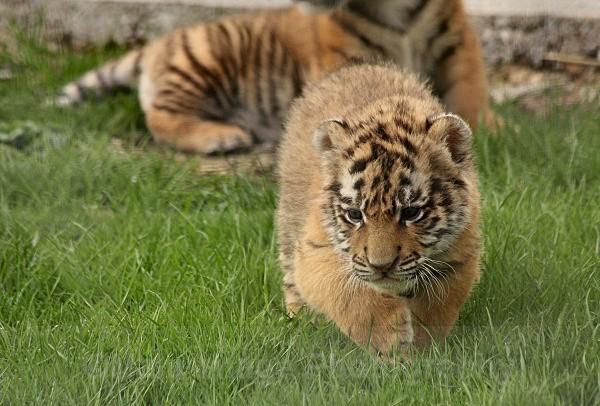 286 BLADE@5WKS - BIG CATS