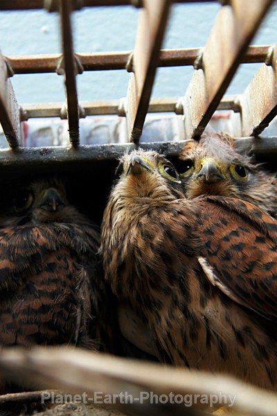 Nesting Kestrels 4 - UK Wildlife