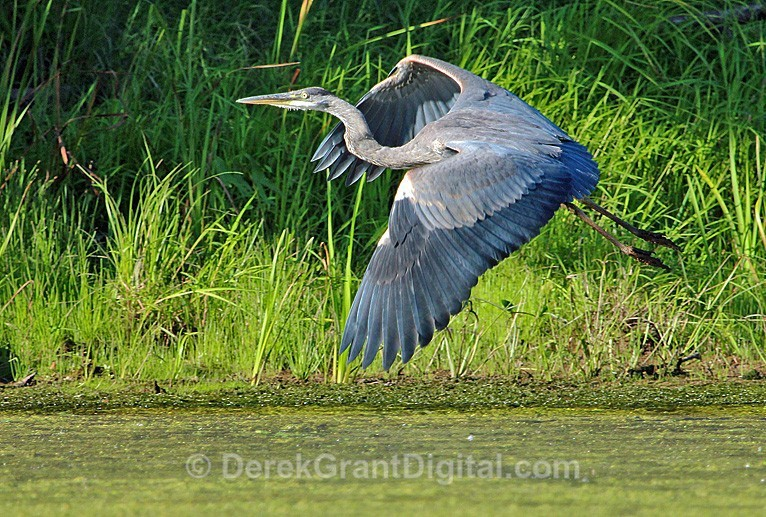 Grace in Motion - Great Blue Heron Taking Off - Birds of Atlantic Canada