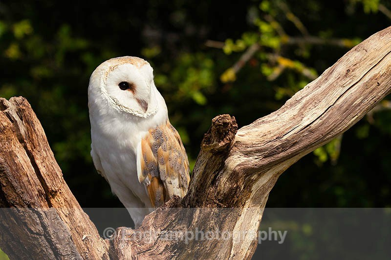 Barn Owl in the tree-R6601 - Birds
