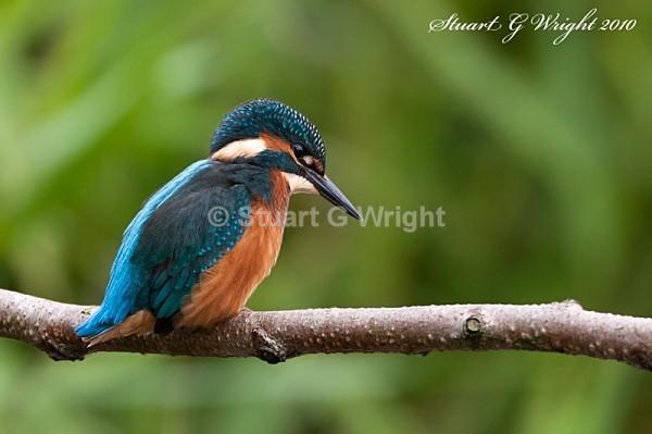 26 - Kingfisher