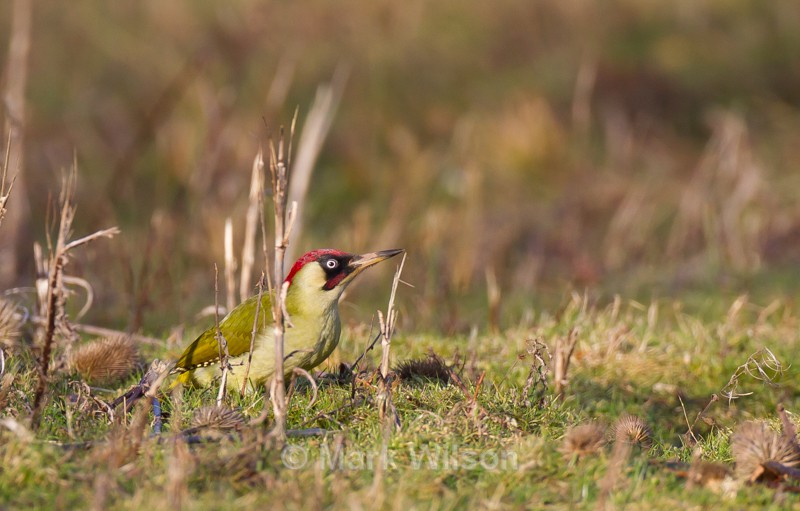 Green Woodpecker - Shorpshire - The rest.....