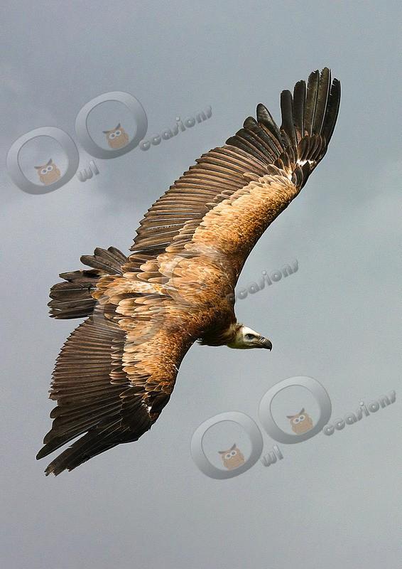 griffon vulture Gyps fulvus- - BoP from around the world