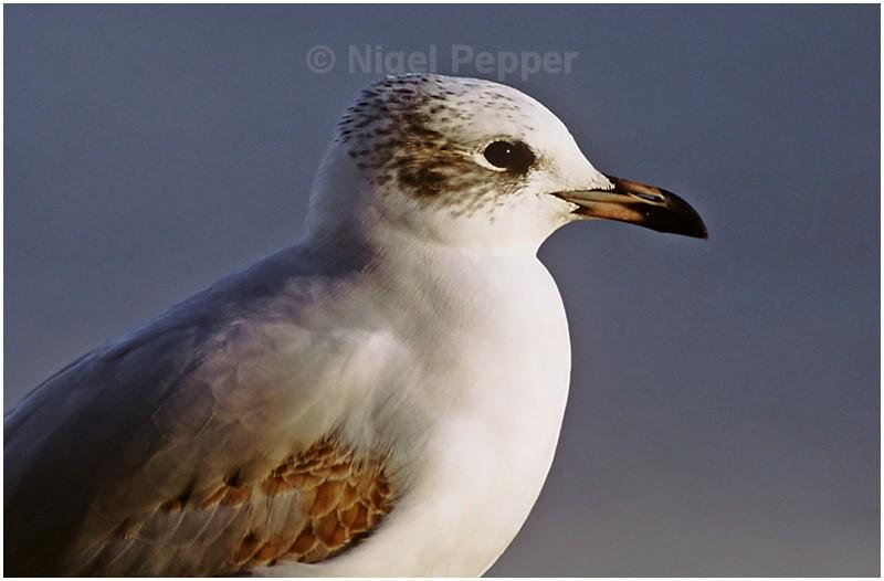 1st-yr Med Gull ( 2 ) - Gulls