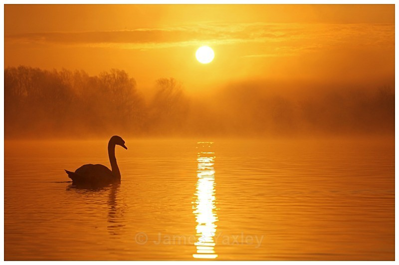 Mute Swan at Dawn - The British Wildlife Photography Awards 2009 to 2014