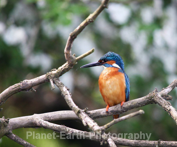 Kingfisher 4 - Kingfishers