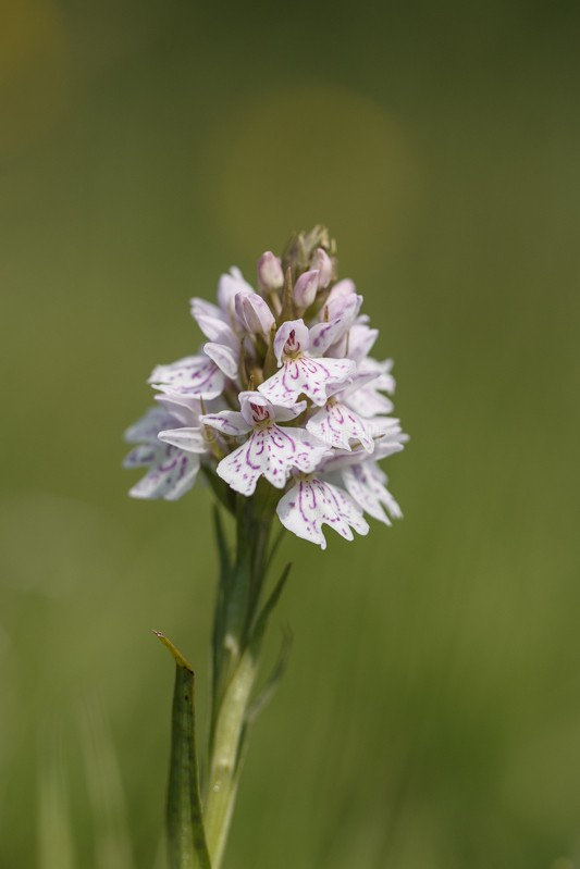 Common Spotted Orchid 1 - Flower & Forna