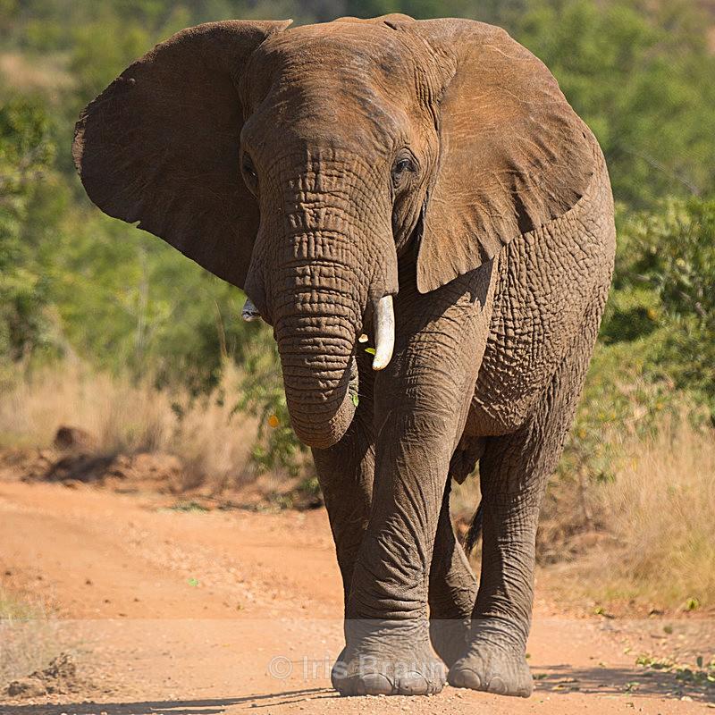 One-Tusker - Elephant