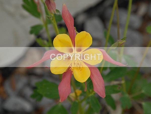 columbine-pinkDSC_1884 - The Flower Shop