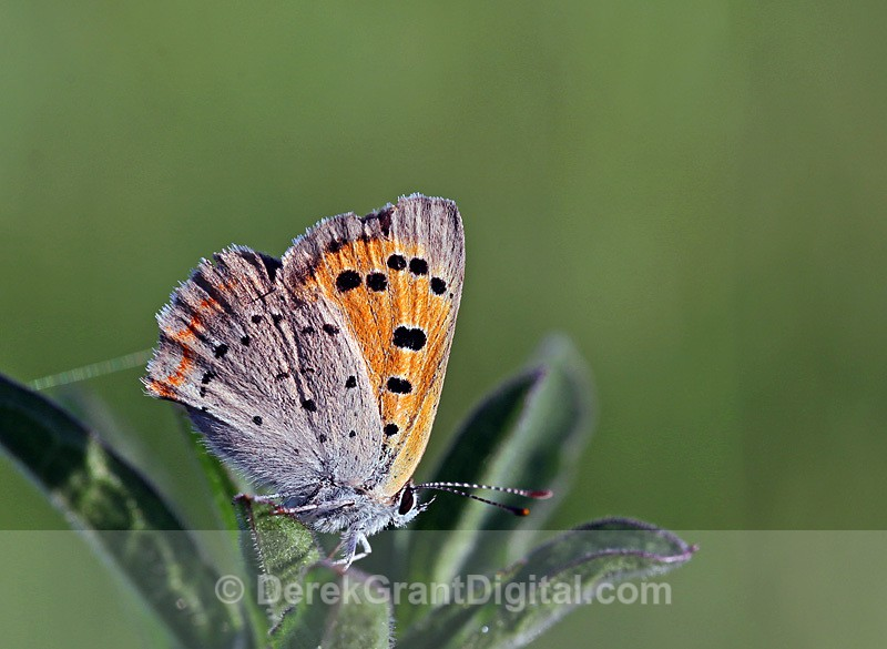 Lycaena phlaeas - Butterflies & Moths of Atlantic Canada
