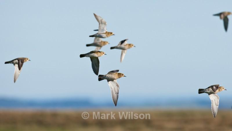 Golden Plover - The rest.....
