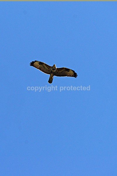 Visiting Buzzard - Our Bird of Prey and Leopard Images