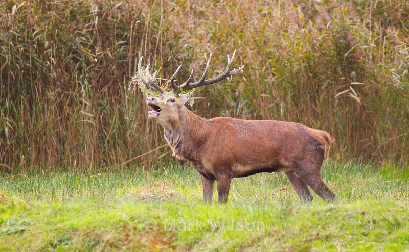Red Deer - Animals