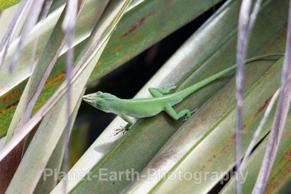 Palm Tree Lizard 1 - Cuba