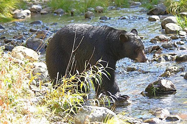Taylor Creek Black Bear - 'Wildlife' (Big & Small)