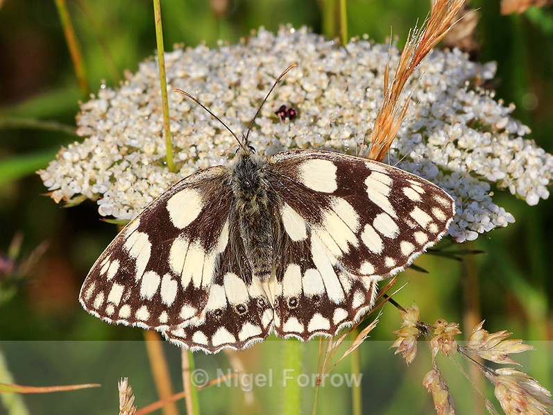 Marbled White (male) feeding on Wild Carrot at Durlston - INSECTS
