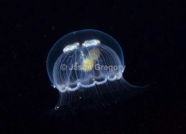 Aurelia aurita - Jellyfish and 'jelly-like' animals