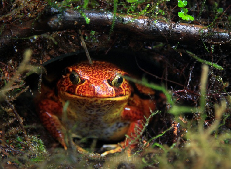 Tomato Frog - BC and the Rockies,Canada