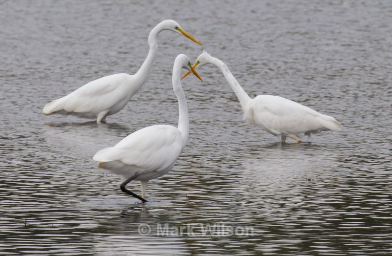 Great White Egret - Herons, Egrets & Cranes