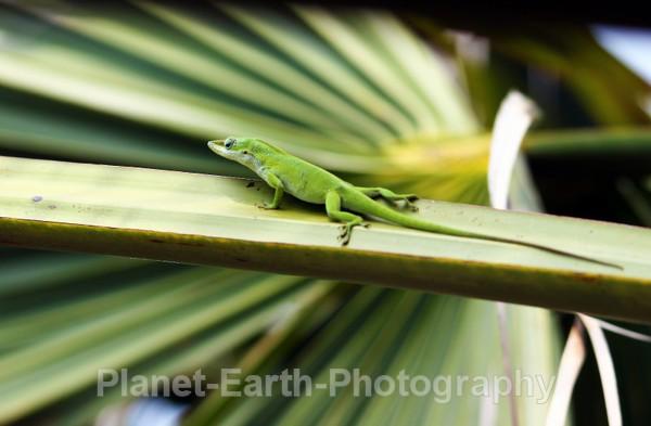 Cuban Lizard 5 - Around The World