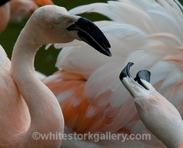 Flamingo - Wildlife and Animals